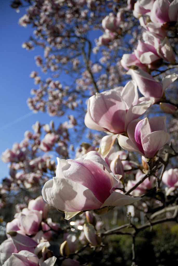 Magnolia - Toulouse Grand Round, France